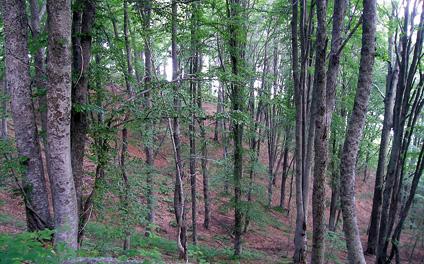 Гъста букова гора в резервата конгура