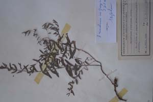 Hypericum rumelicum Boiss. var georgievii D.Jord. et Kož. [holotype SOXXXXXX0096] Sofia University 'St. Kliment Ohridski' — Biological Faculty — Herbarium (SO)