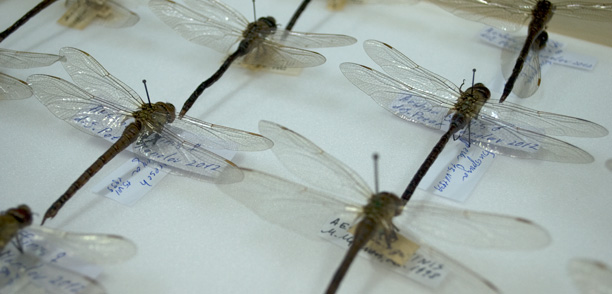 Collection Odonata and Trichoptera