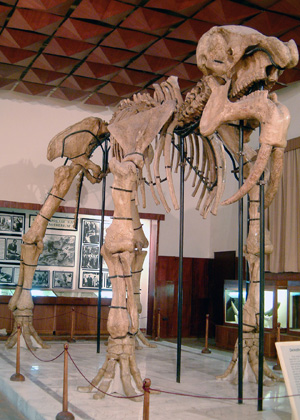 The Deinotherium skeleton in the Palaeontological branch of the NMNHS in Asenovgrad (c) NMNHS