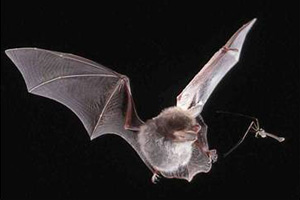 Sensory and cognitive ecology of bats (c) NMNHS