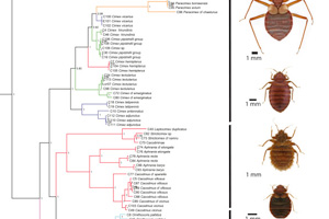 Bedbugs chose humans on several occasions in their evolutionary past